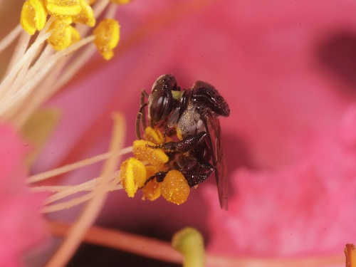 native stingless bee